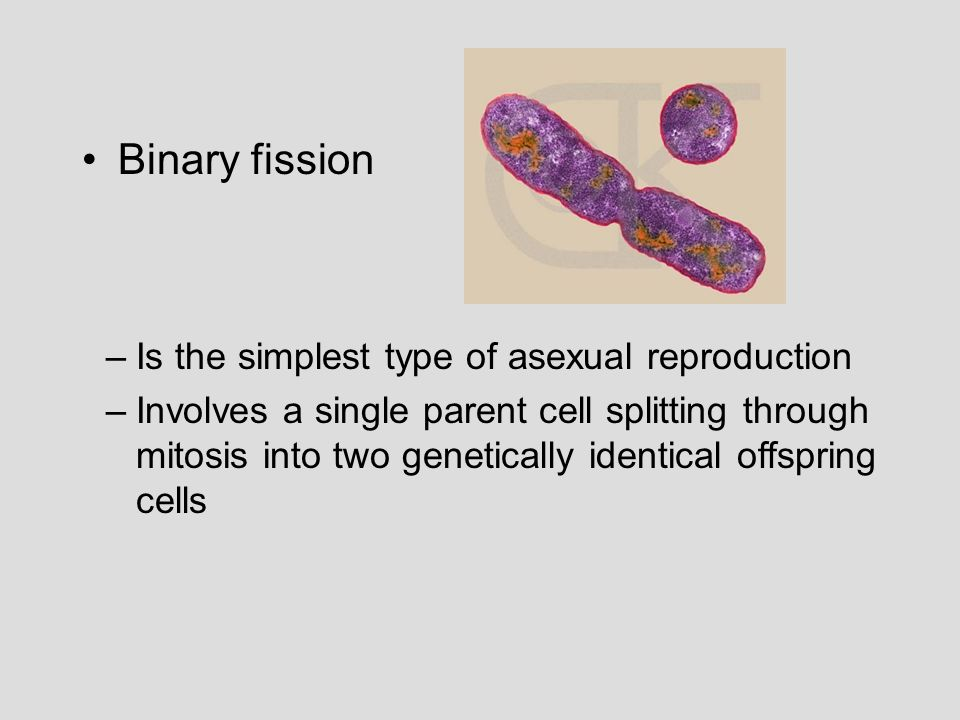 Binary fission –Is the simplest type of asexual reproduction –Involves a single parent cell splitting through mitosis into two genetically identical offspring cells
