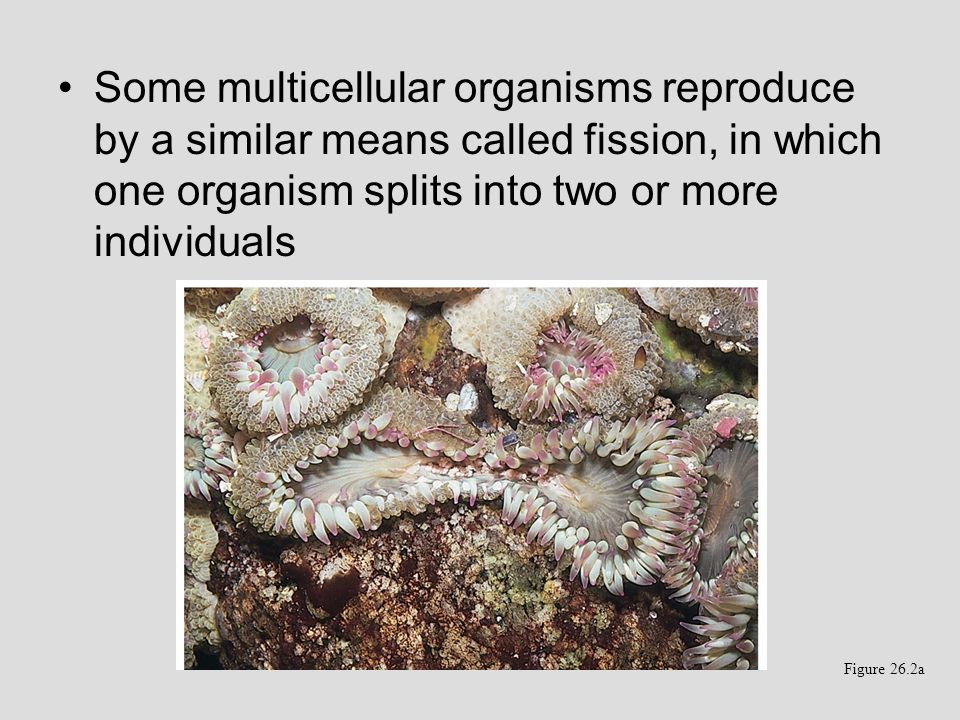 Some multicellular organisms reproduce by a similar means called fission, in which one organism splits into two or more individuals Figure 26.2a
