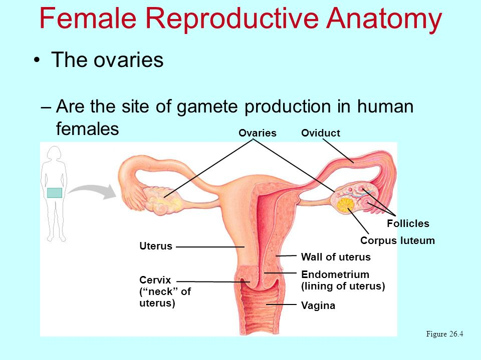The ovaries Female Reproductive Anatomy –Are the site of gamete production in human females Figure 26.4 Ovaries Uterus Cervix (neck of uterus) Oviduct