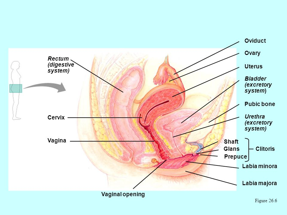 Female reproductive anatomy Figure 26.6 Rectum (digestive system) Cervix Vagina Vaginal opening Oviduct Ovary Uterus Bladder (excretory system) Pubic