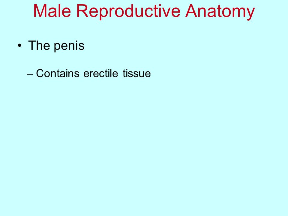 The penis Male Reproductive Anatomy –Contains erectile tissue