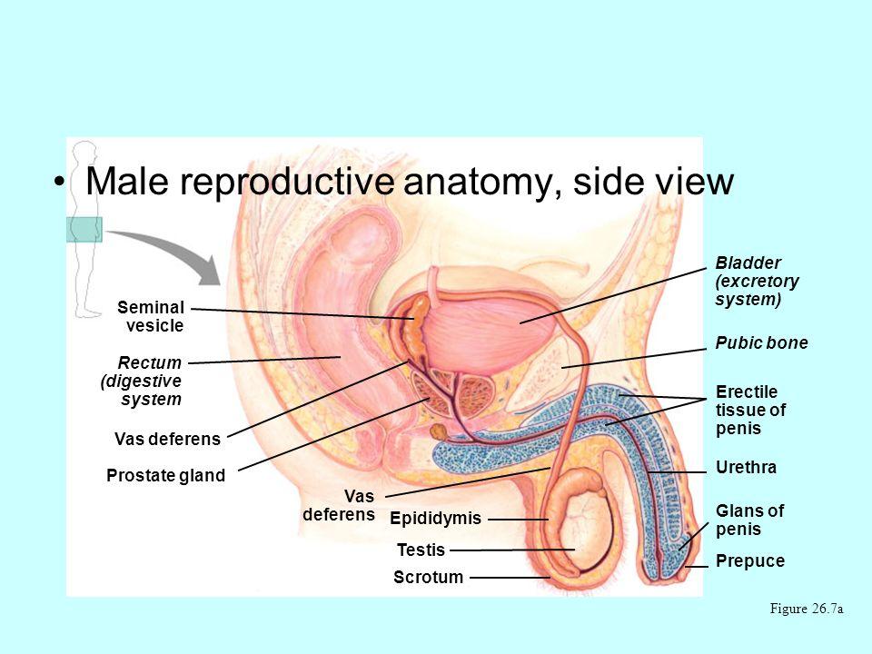 Seminal vesicle Rectum (digestive system Vas deferens Prostate gland Vas deferens Epididymis Testis Bladder (excretory system) Pubic bone Erectile tissue of penis Urethra Glans of penis Prepuce Male reproductive anatomy, side view Figure 26.7a Scrotum