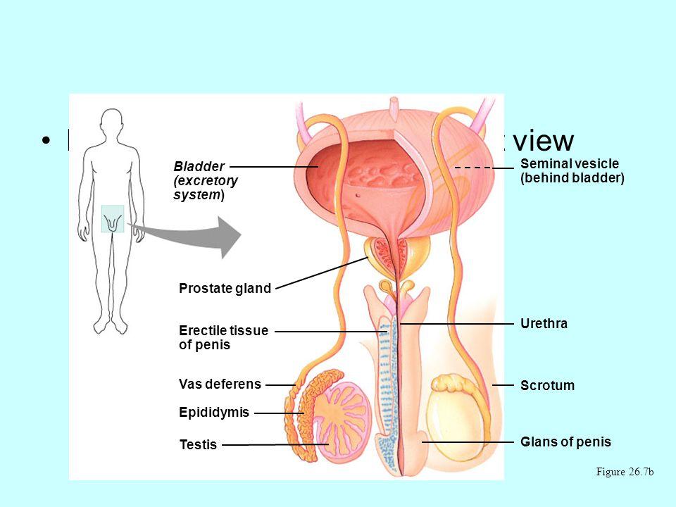 Male reproductive anatomy, front view Figure 26.7b Bladder (excretory system) Prostate gland Erectile tissue of penis Vas deferens Epididymis Testis Seminal vesicle (behind bladder) Urethra Scrotum Glans of penis