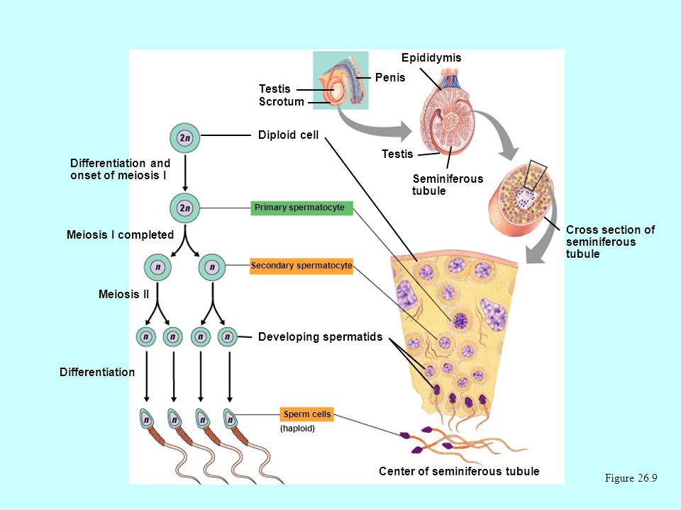 Figure 26.9 Diploid cell Differentiation and onset of meiosis I Primary spermatocyte Meiosis I completed Secondary spermatocyte Meiosis II Developing