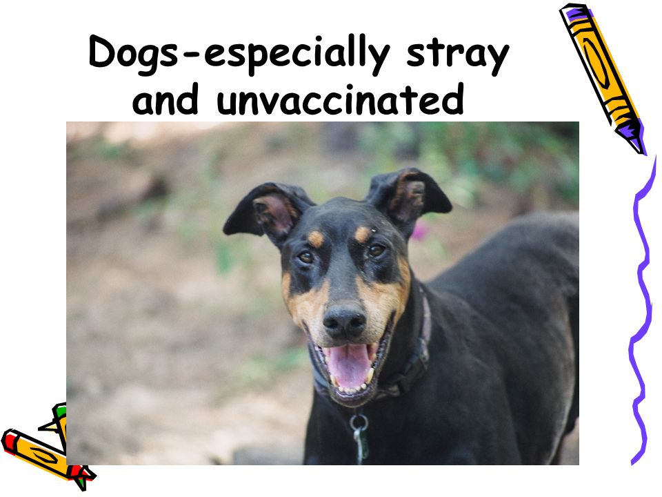 Dogs-especially stray and unvaccinated