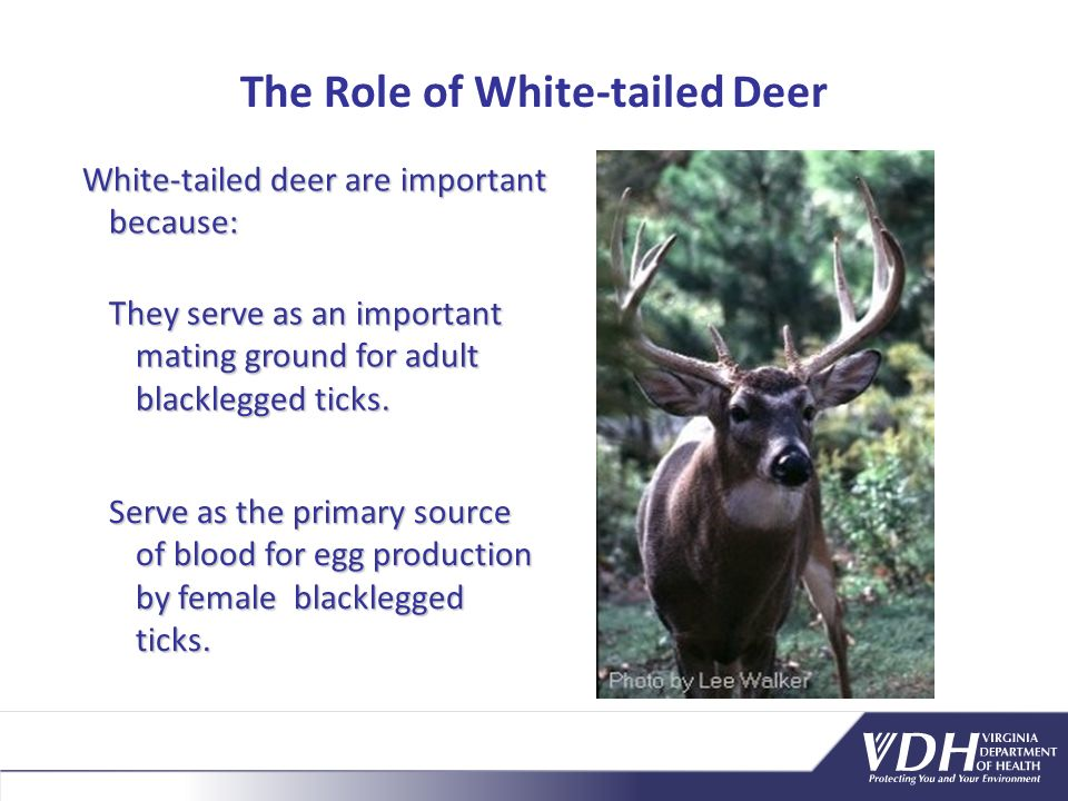 The Role of White-tailed Deer White-tailed deer are important because: Serve as the primary source of blood for egg production by female blacklegged ticks.