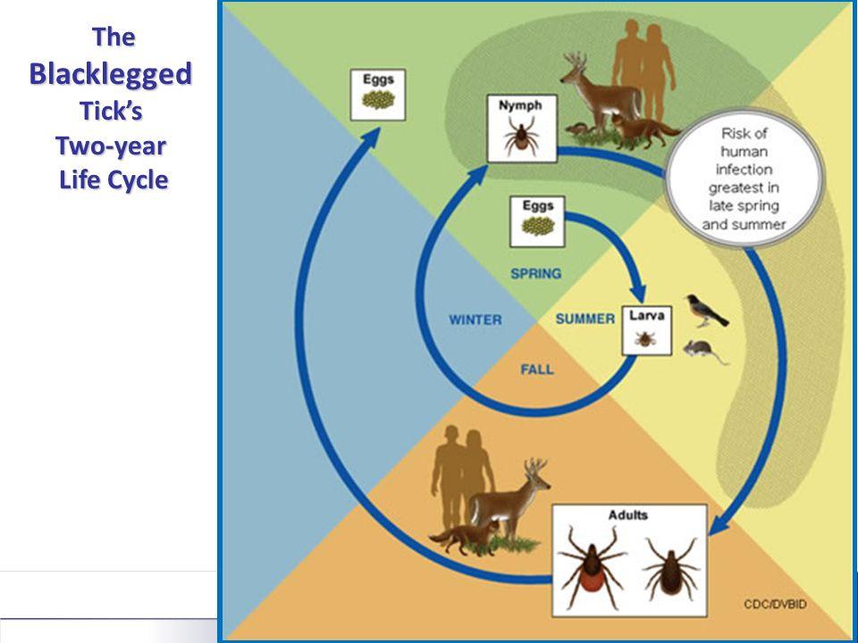 The Blacklegged Ticks The Blacklegged TicksTwo-year Life Cycle Life Cycle