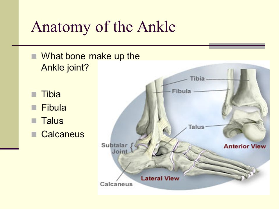 Anatomy of the Ankle What bone make up the Ankle joint? Tibia Fibula Talus Calcaneus