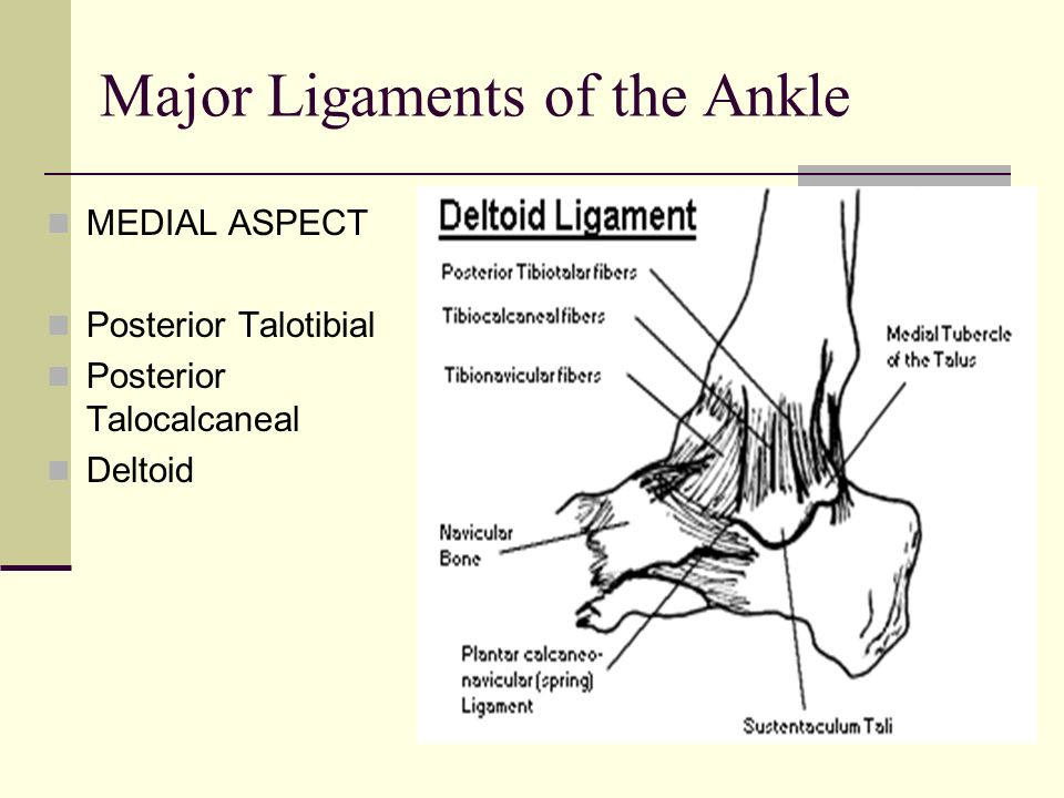 Major Ligaments of the Ankle MEDIAL ASPECT Posterior Talotibial Posterior Talocalcaneal Deltoid