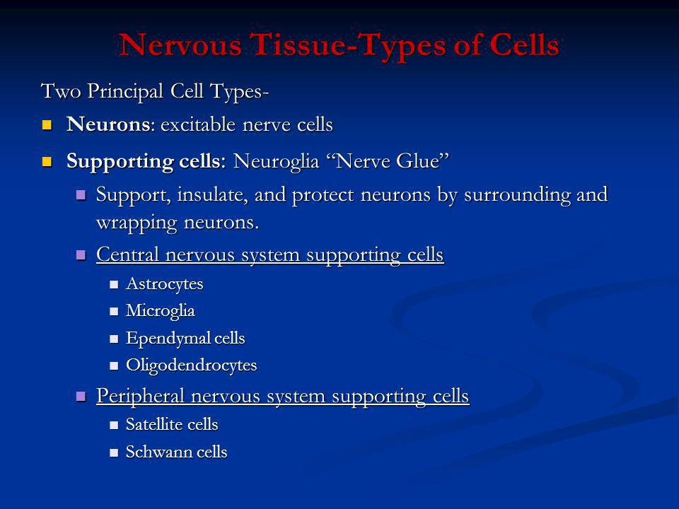 Nervous Tissue-Types of Cells Two Principal Cell Types- Neurons: excitable nerve cells Neurons: excitable nerve cells Supporting cells : Neuroglia Ner