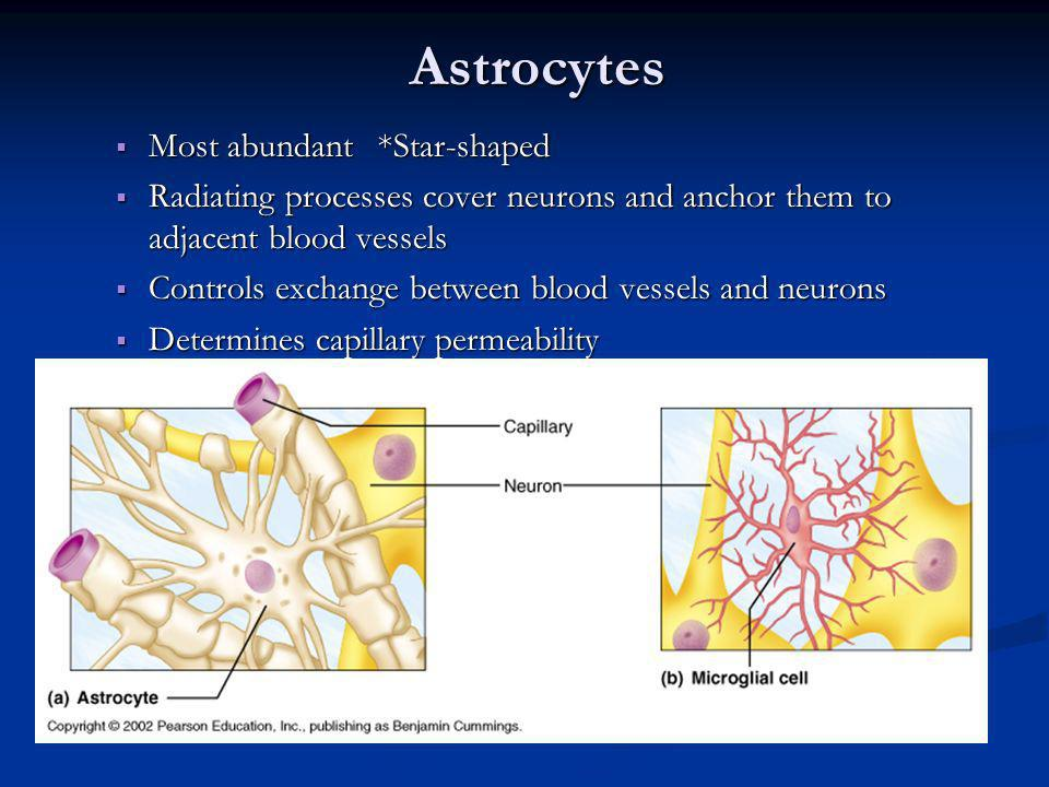 Astrocytes Most abundant*Star-shaped Most abundant*Star-shaped Radiating processes cover neurons and anchor them to adjacent blood vessels Radiating p