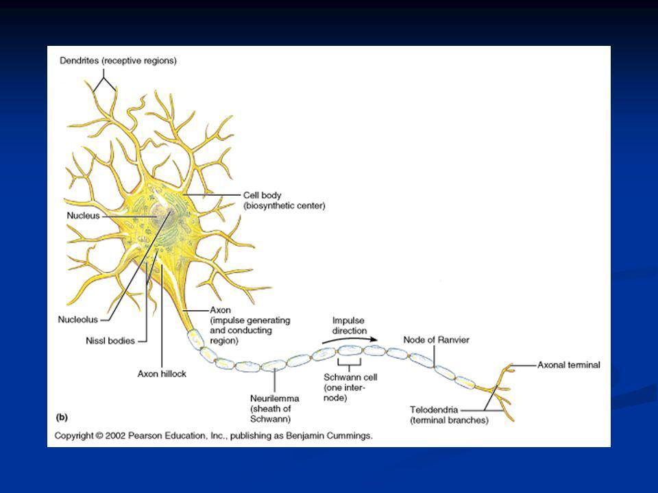Cell Processes Brain and spinal cord (CNS) contain both cell bodies and their processes Brain and spinal cord (CNS) contain both cell bodies and their processes The PNS consists chiefly of neuron processes The PNS consists chiefly of neuron processes Bundles of neuron processes are called tracts (CNS) and nerves (PNS).