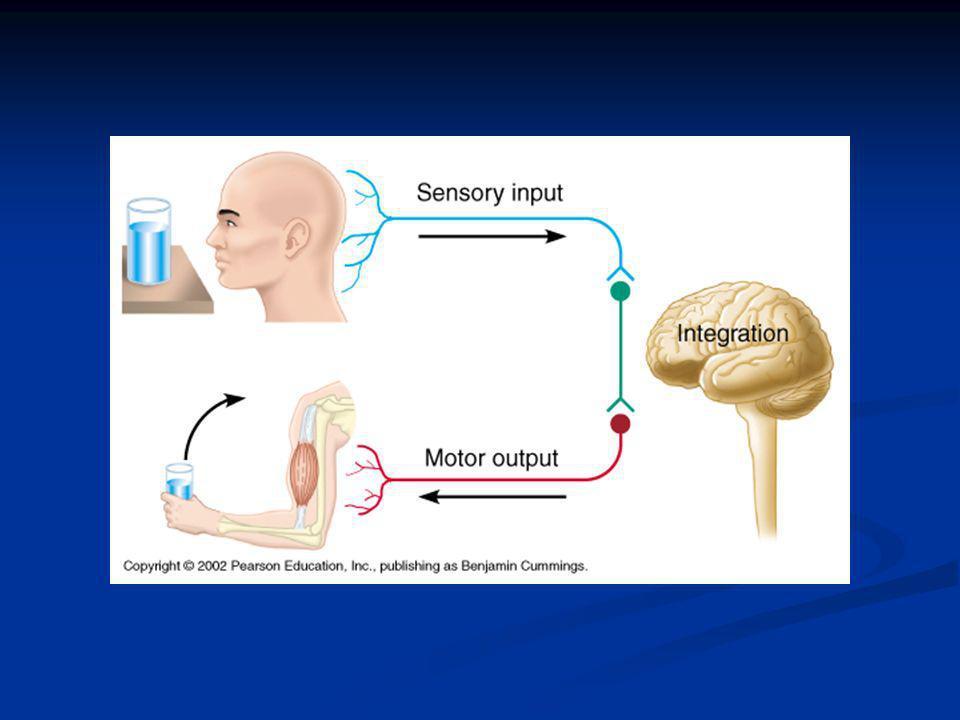 Organization of the Nervous System Central Nervous System (CNS) Central Nervous System (CNS) Brain and spinal cord Brain and spinal cord Dorsal body cavity Dorsal body cavity Integrating command center Integrating command center Peripheral Nervous System (PNS) Peripheral Nervous System (PNS) Nerves to and from brain and spinal cord Nerves to and from brain and spinal cord Communication links to the CNS Communication links to the CNS Spinal nerves and cranial nerves Spinal nerves and cranial nerves