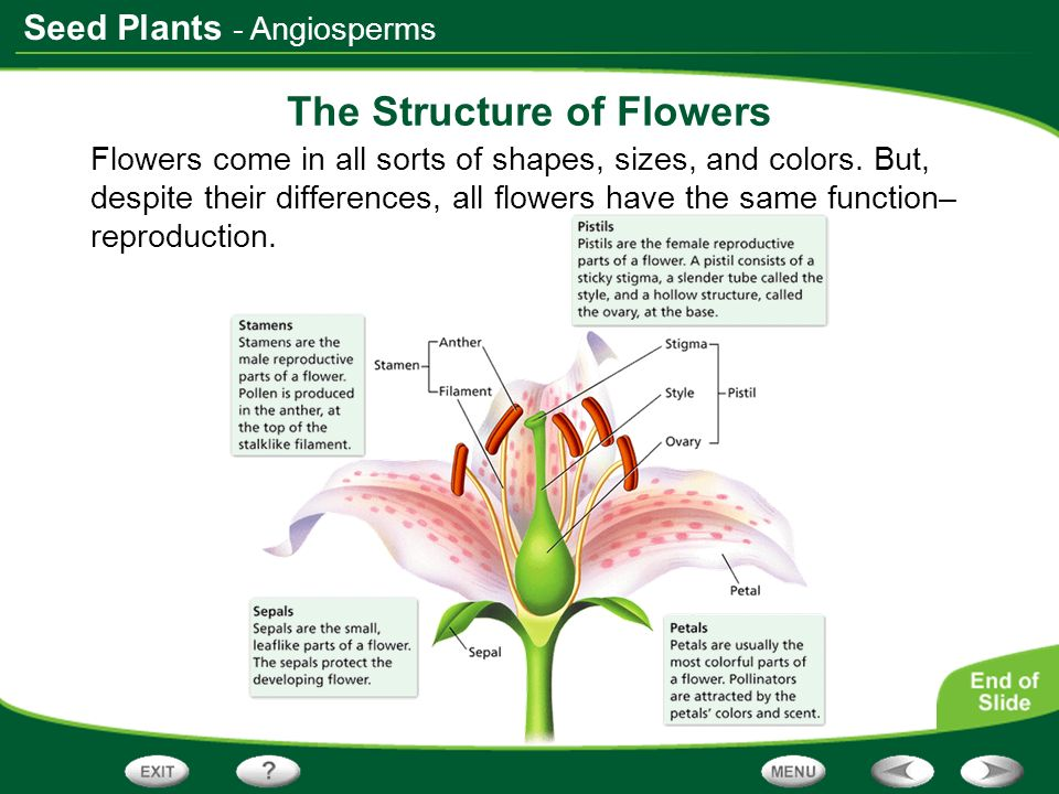 Seed Plants The Structure of Flowers Flowers come in all sorts of shapes, sizes, and colors. But, despite their differences, all flowers have the same
