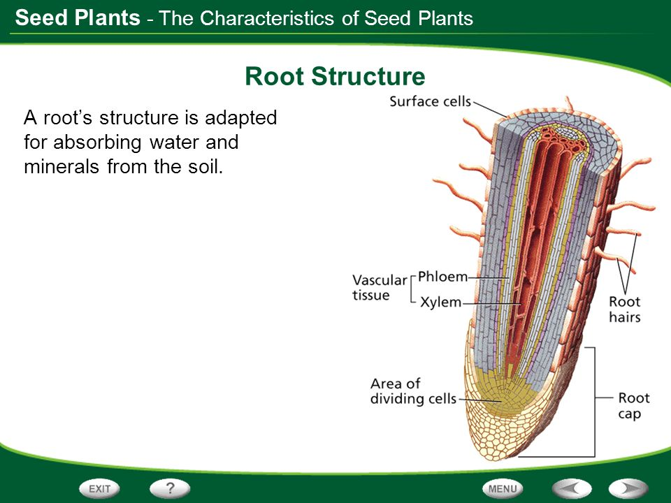 Seed Plants Root Structure A roots structure is adapted for absorbing water and minerals from the soil. - The Characteristics of Seed Plants
