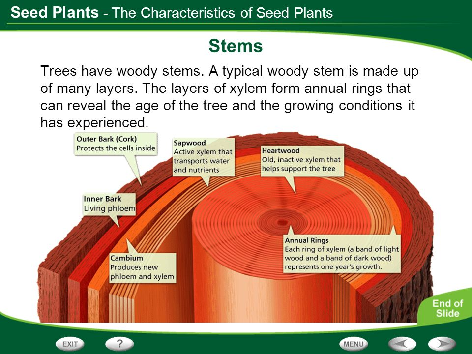 Seed Plants Stems Trees have woody stems. A typical woody stem is made up of many layers. The layers of xylem form annual rings that can reveal the ag