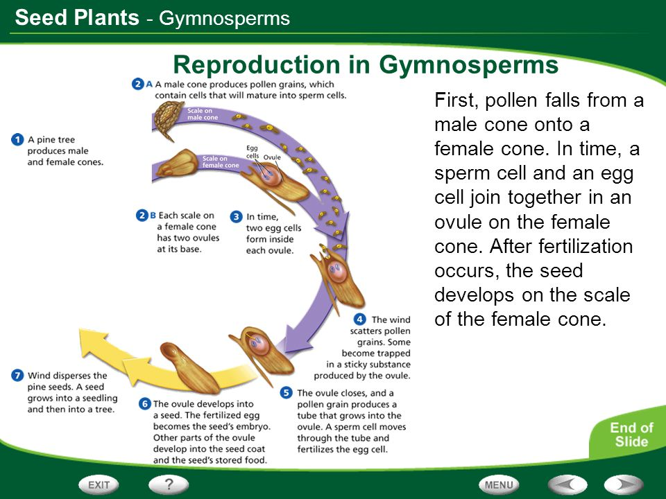 Seed Plants Reproduction in Gymnosperms First, pollen falls from a male cone onto a female cone. In time, a sperm cell and an egg cell join together i