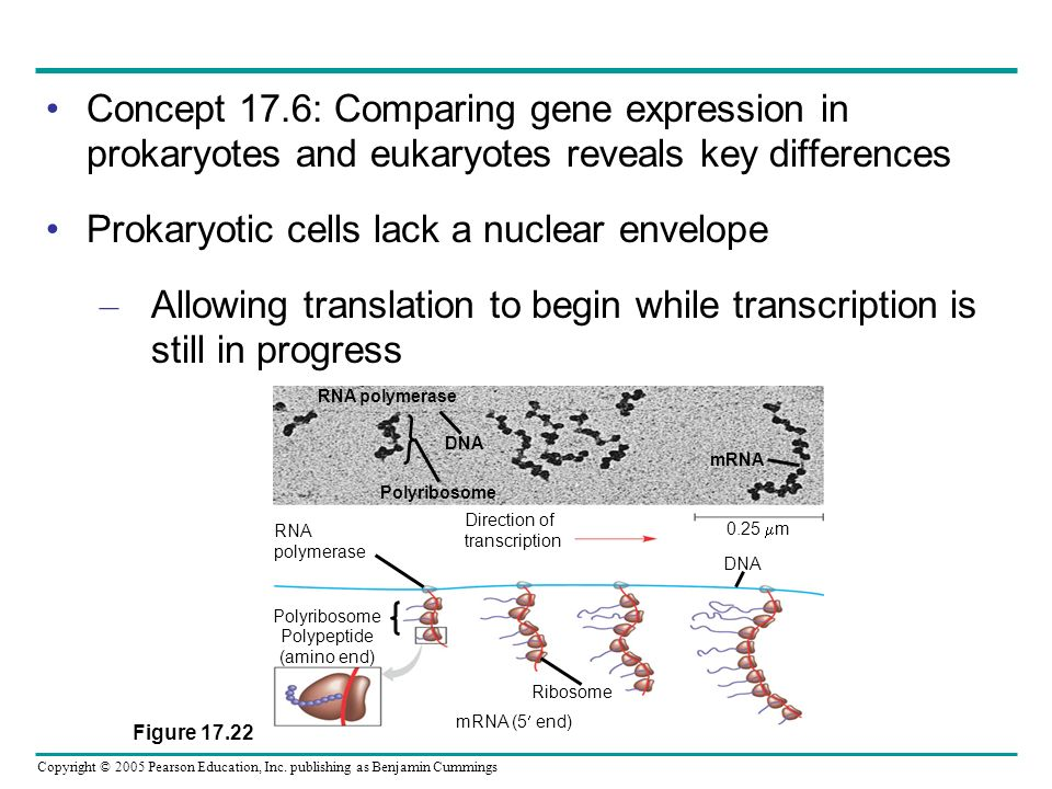 Copyright © 2005 Pearson Education, Inc. publishing as Benjamin Cummings Concept 17.6: Comparing gene expression in prokaryotes and eukaryotes reveals