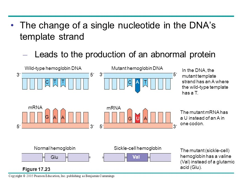 Copyright © 2005 Pearson Education, Inc. publishing as Benjamin Cummings The change of a single nucleotide in the DNAs template strand – Leads to the