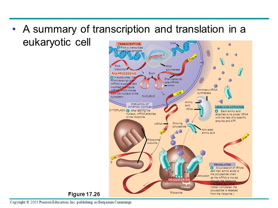 Copyright © 2005 Pearson Education, Inc. publishing as Benjamin Cummings A summary of transcription and translation in a eukaryotic cell Figure 17.26