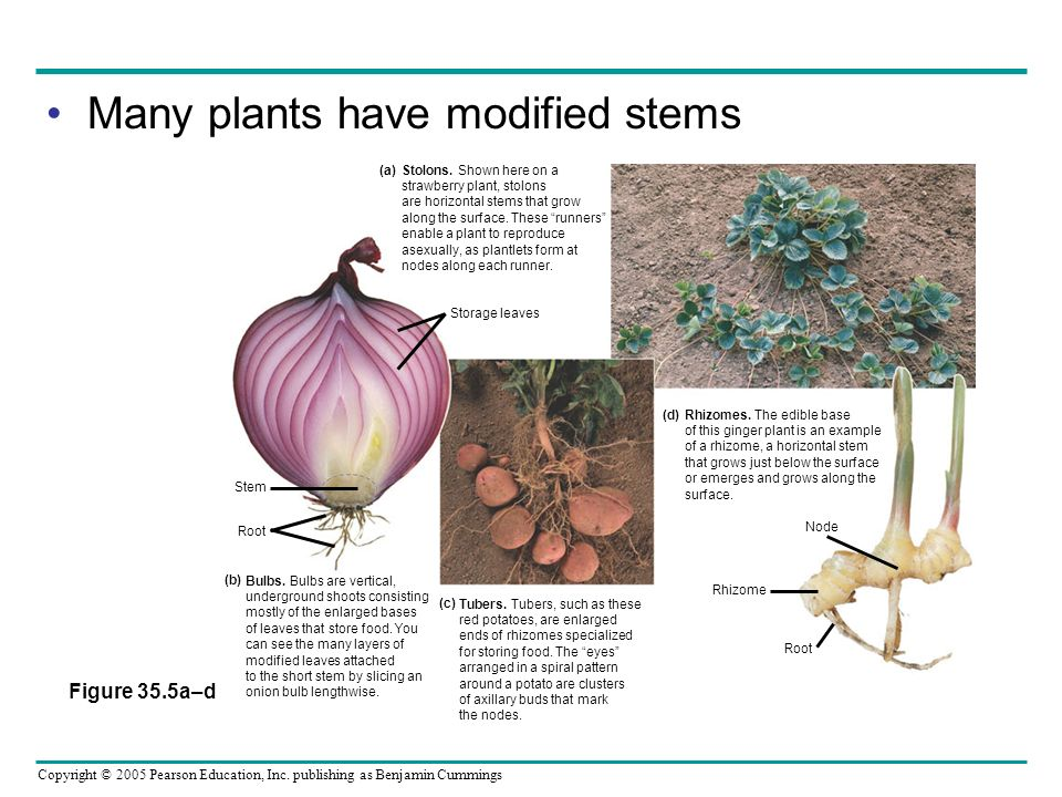 Copyright © 2005 Pearson Education, Inc. publishing as Benjamin Cummings Many plants have modified stems Figure 35.5a–d Rhizomes. The edible base of t