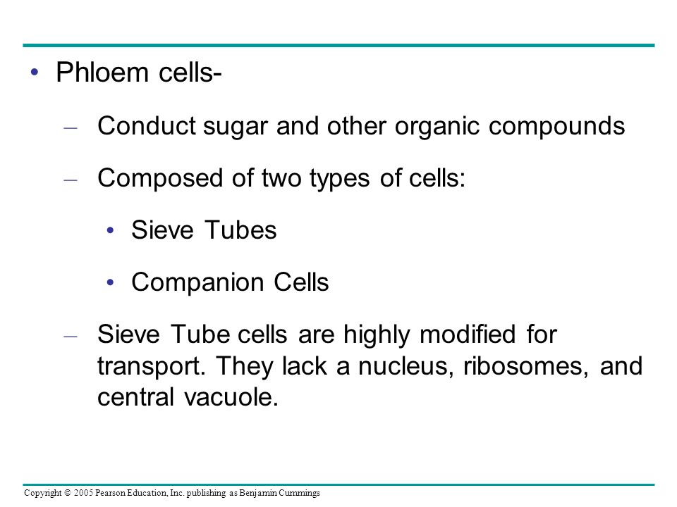 Copyright © 2005 Pearson Education, Inc. publishing as Benjamin Cummings Phloem cells- – Conduct sugar and other organic compounds – Composed of two t