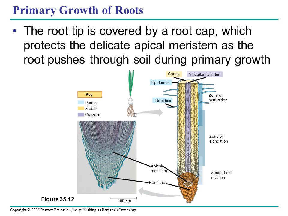 Copyright © 2005 Pearson Education, Inc. publishing as Benjamin Cummings Primary Growth of Roots The root tip is covered by a root cap, which protects