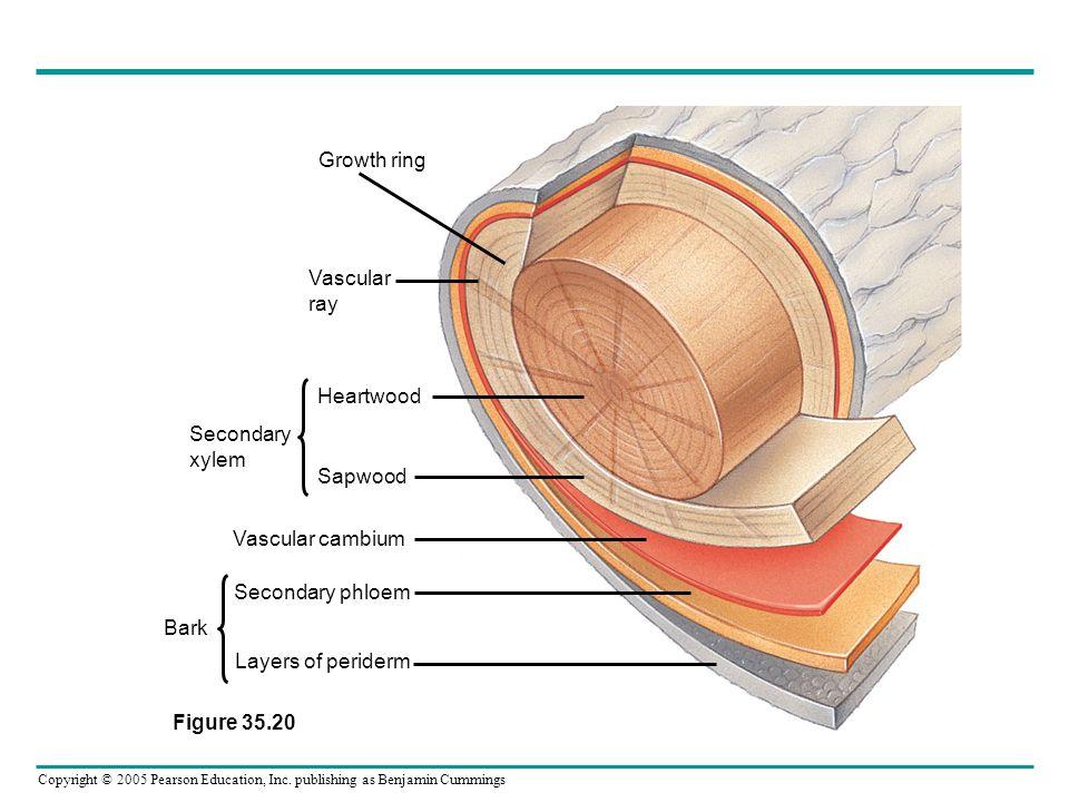 Copyright © 2005 Pearson Education, Inc. publishing as Benjamin Cummings Growth ring Vascular ray Heartwood Sapwood Vascular cambium Secondary phloem