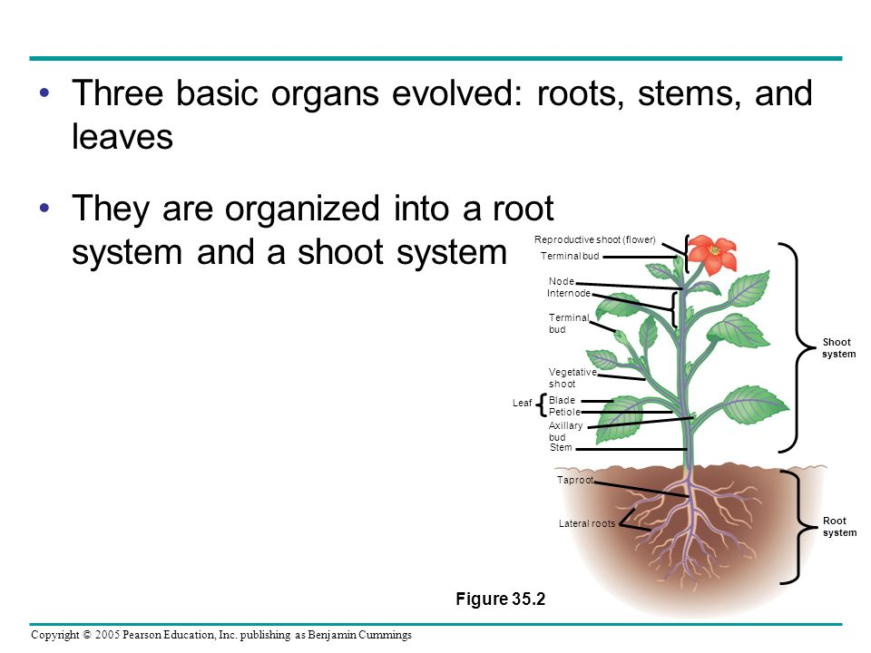 Copyright © 2005 Pearson Education, Inc. publishing as Benjamin Cummings Three basic organs evolved: roots, stems, and leaves They are organized into