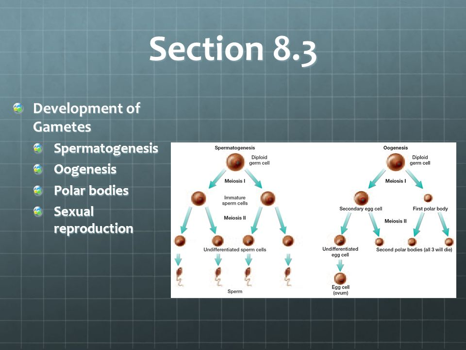 Section 8.3 Development of Gametes SpermatogenesisOogenesis Polar bodies Sexual reproduction