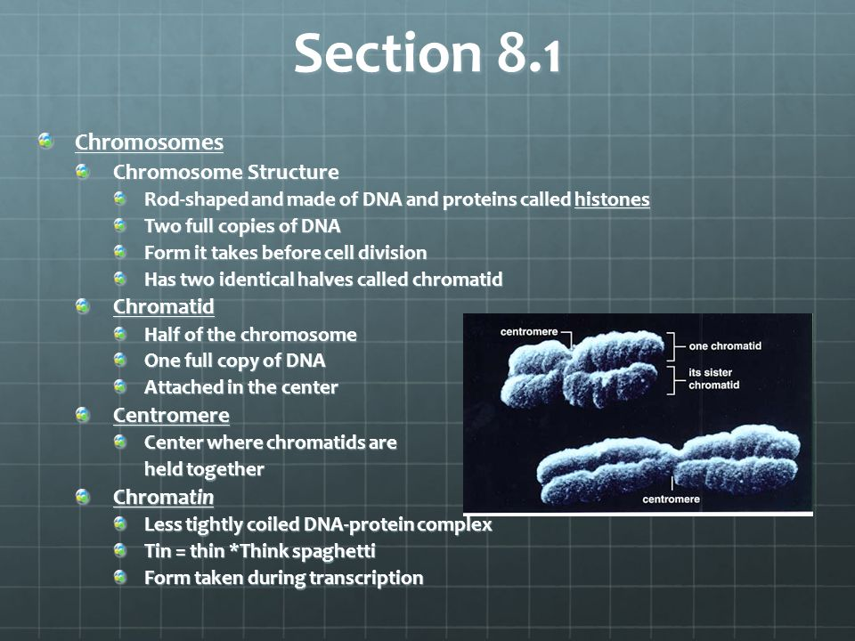 Section 8.1 Chromosomes Chromosome Structure Rod-shaped and made of DNA and proteins called histones Two full copies of DNA Form it takes before cell