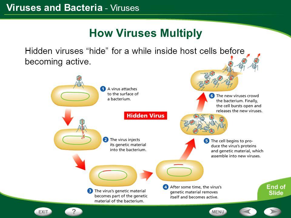 Viruses and Bacteria How Viruses Multiply Hidden viruses hide for a while inside host cells before becoming active. - Viruses
