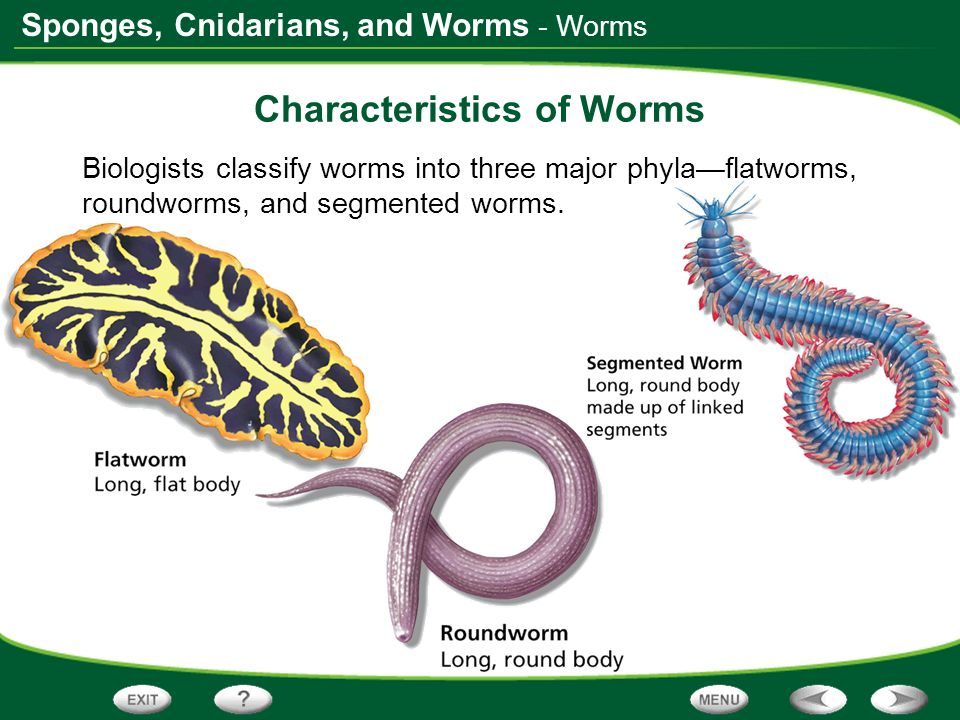 Sponges, Cnidarians, and Worms - Worms Characteristics of Worms Biologists classify worms into three major phylaflatworms, roundworms, and segmented w