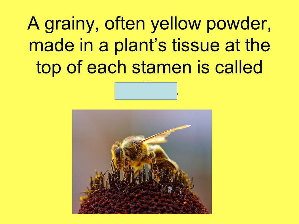 A grainy, often yellow powder, made in a plants tissue at the top of each stamen is called pollen.
