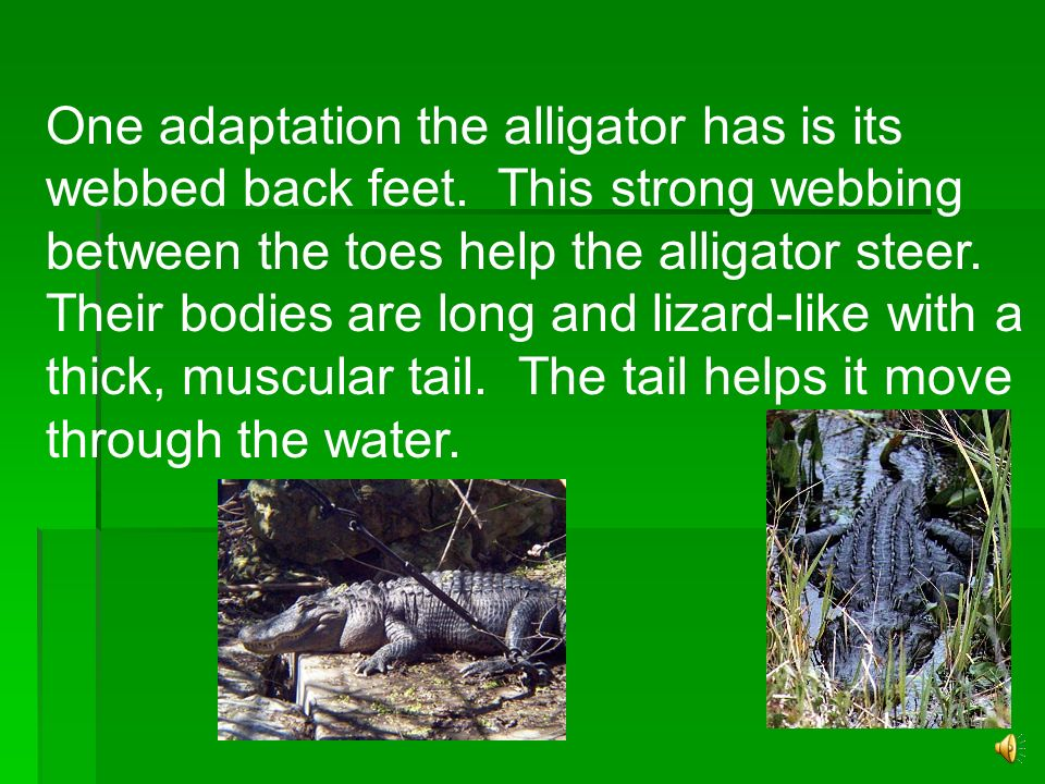 Alligator Female alligators lay about 20 to 60 eggs at a time. The mother covers the nest for about three months to protect the eggs from predators. W