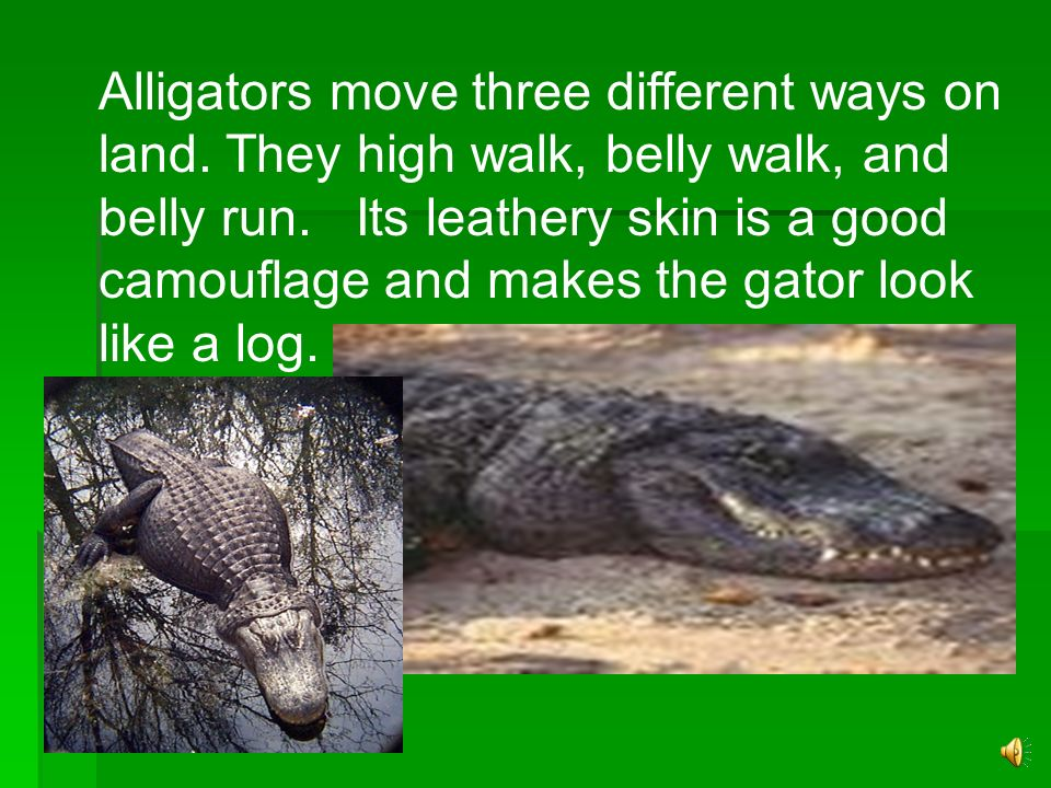 One adaptation the alligator has is its webbed back feet. This strong webbing between the toes help the alligator steer. Their bodies are long and liz