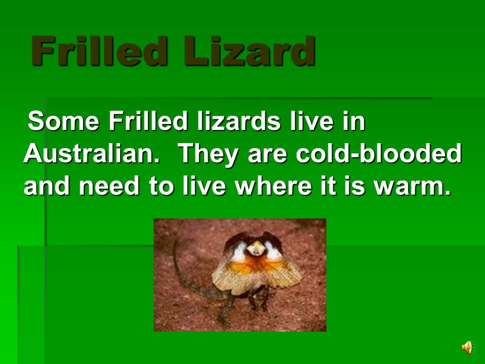 Frilled Lizard Frilled lizards are meat eaters. They eat spiders, bugs, and small lizards. They have long toes so that they can hold on to branches wh