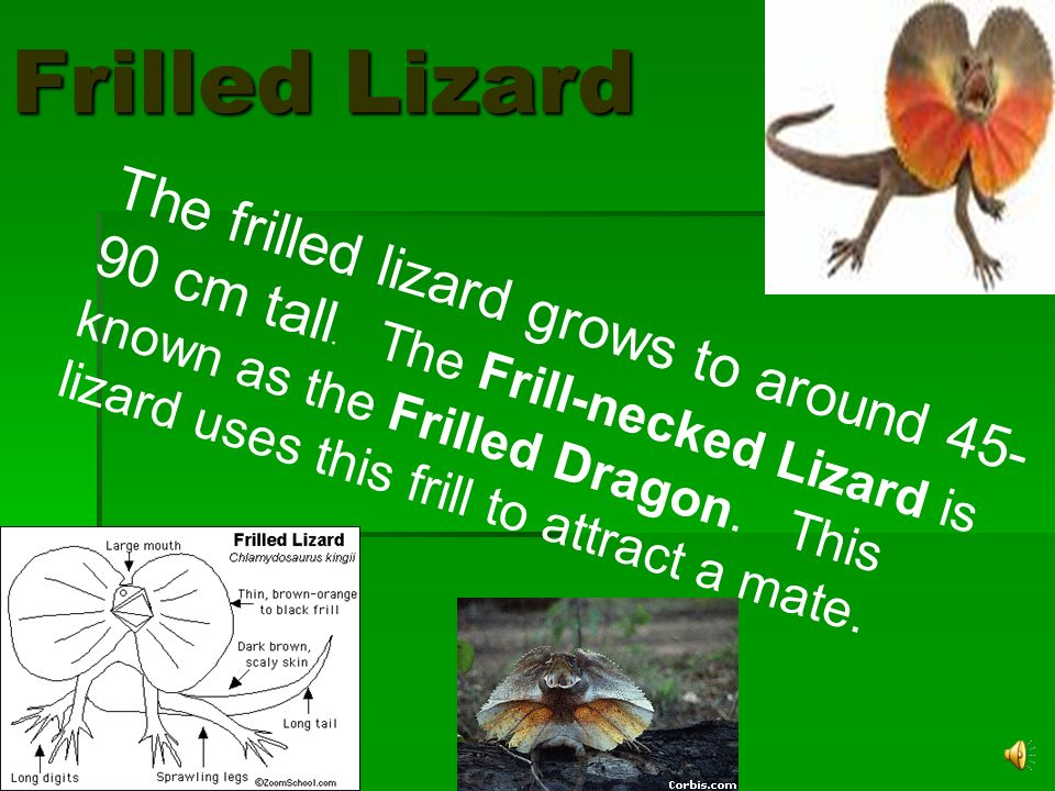 They have a thin frill around its head to scare away enemies. Frilled Lizards live in dry forests and woodlands in the northern and north-western part