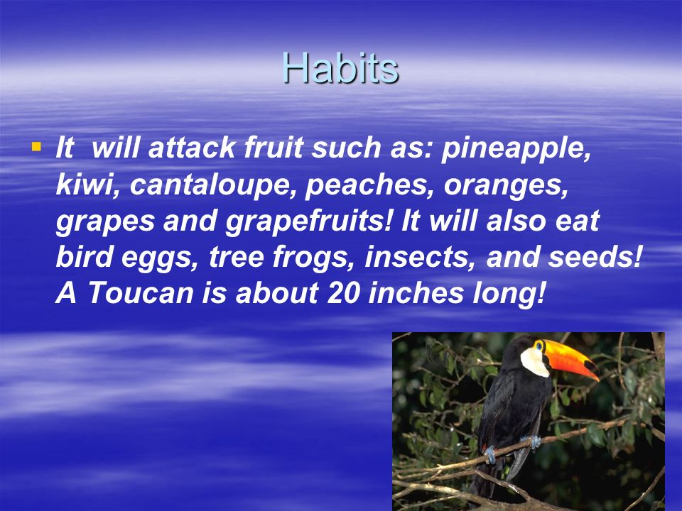 Behavior A Toucan acts good when it is not attacking fruit! Except when it is attacking fruit it acts calm when predators come it will do as much as i