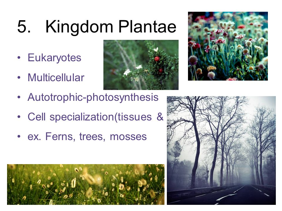 5.Kingdom Plantae Eukaryotes Multicellular Autotrophic-photosynthesis Cell specialization(tissues & organs) ex. Ferns, trees, mosses