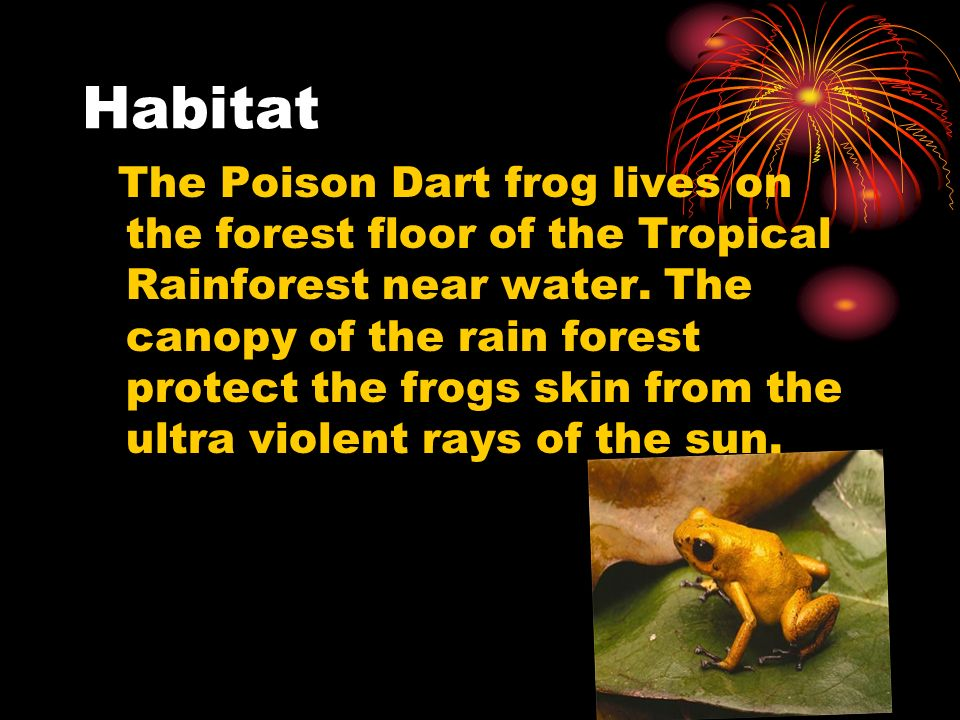 Habitat The Poison Dart frog lives on the forest floor of the Tropical Rainforest near water. The canopy of the rain forest protect the frogs skin fro