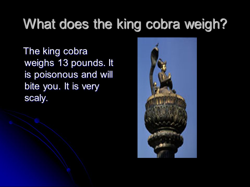 What does the king cobra weigh.The king cobra weighs 13 pounds.
