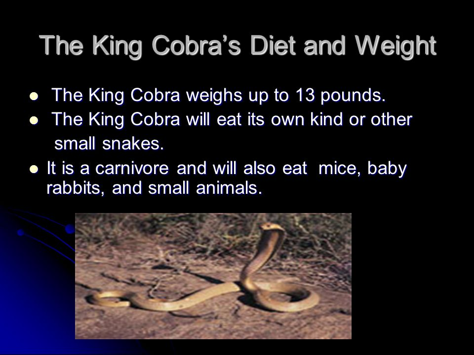 The King Cobras Diet and Weight The King Cobra weighs up to 13 pounds.