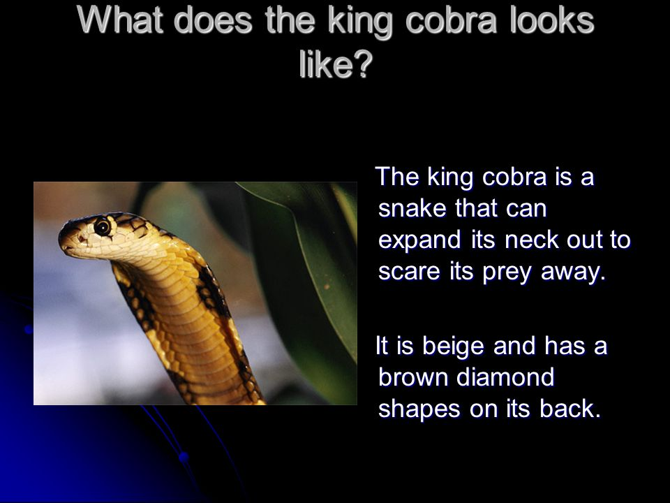 What does the king cobra looks like.
