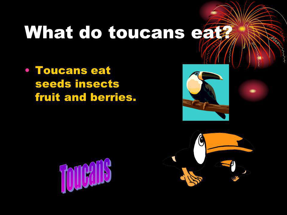 What do toucans eat? Toucans eat seeds insects fruit and berries.