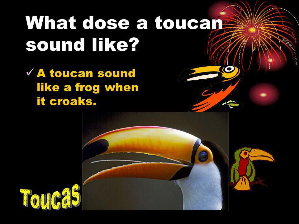 What dose a toucan sound like? A toucan sound like a frog when it croaks.