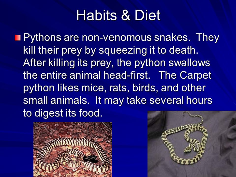 Habits & Diet Habits & Diet Pythons are non-venomous snakes.