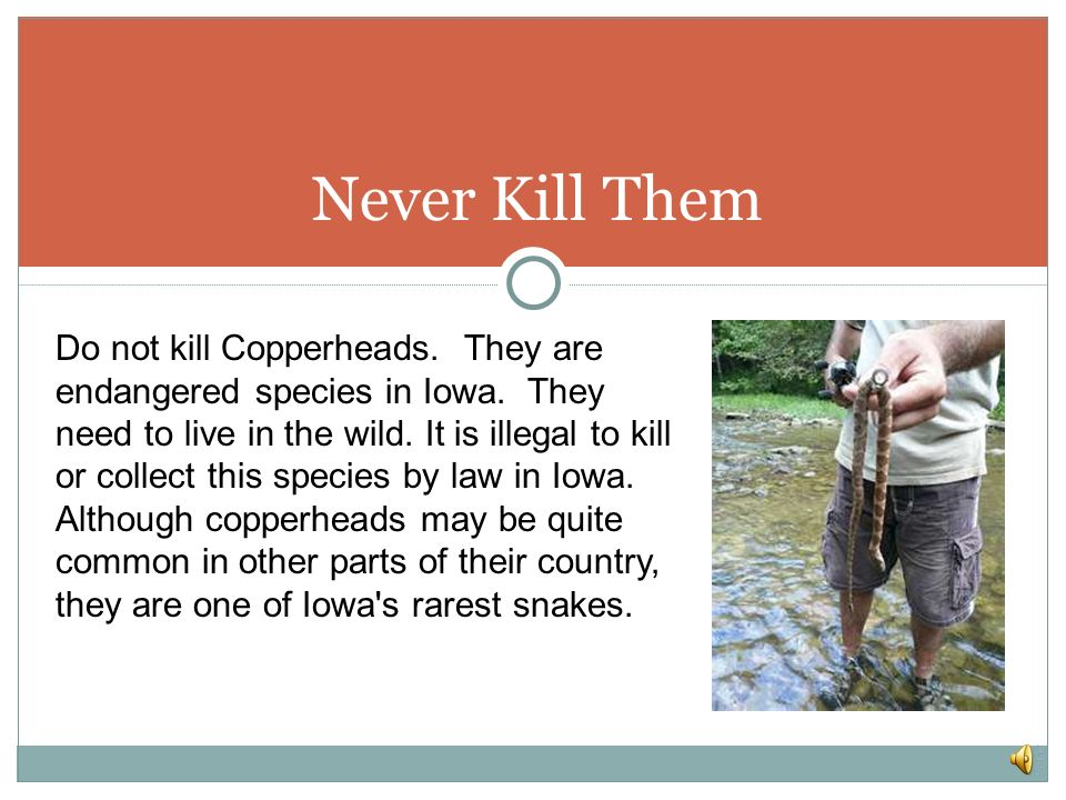 Where to find a copperhead You will find copperheads in the eastern part of the united states. They live at swamp edges, rocky wooded hillsides, pine
