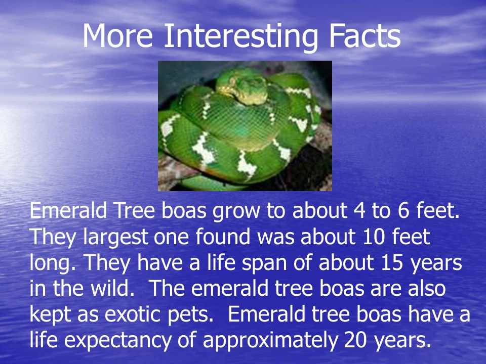 Emerald Tree boas grow to about 4 to 6 feet. They largest one found was about 10 feet long.