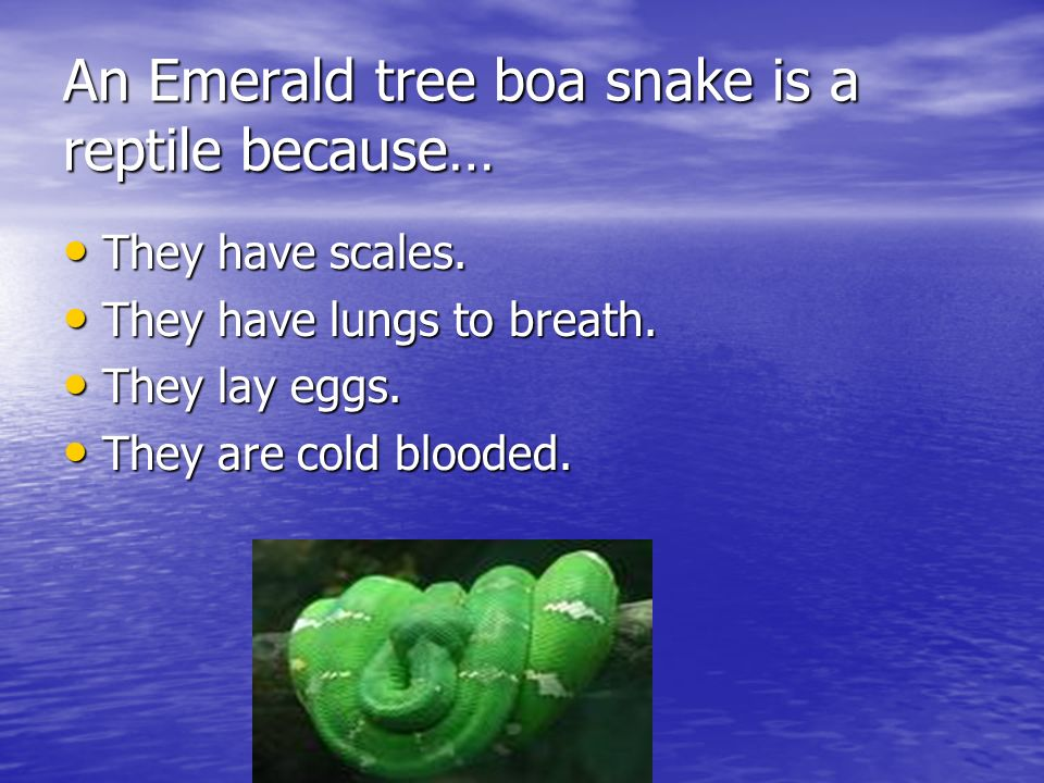 An Emerald tree boa snake is a reptile because… They have scales. They have scales. They have lungs to breath. They have lungs to breath. They lay egg